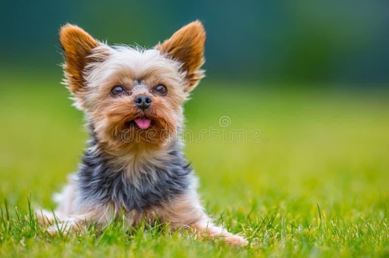 Stående av den manlig eller kvinnligYorkshire Terrier hunden royaltyfri foto