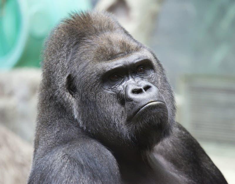 Stående av den manliga gorillan royaltyfria bilder