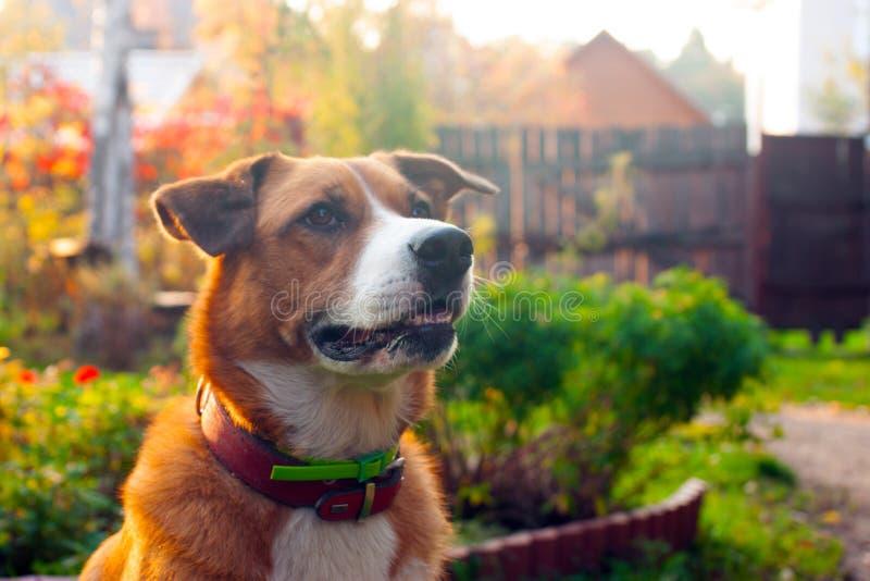 Stående av den orange hunden arkivfoton