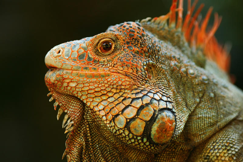 Stående av den orange leguanen i mörkret - grön skog, Costa Rica royaltyfri fotografi