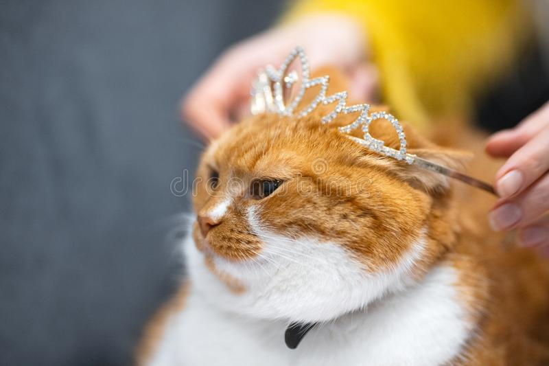 Stående av den röda vita norska hem- katten med prinsessakronan på huvudet fotografering för bildbyråer
