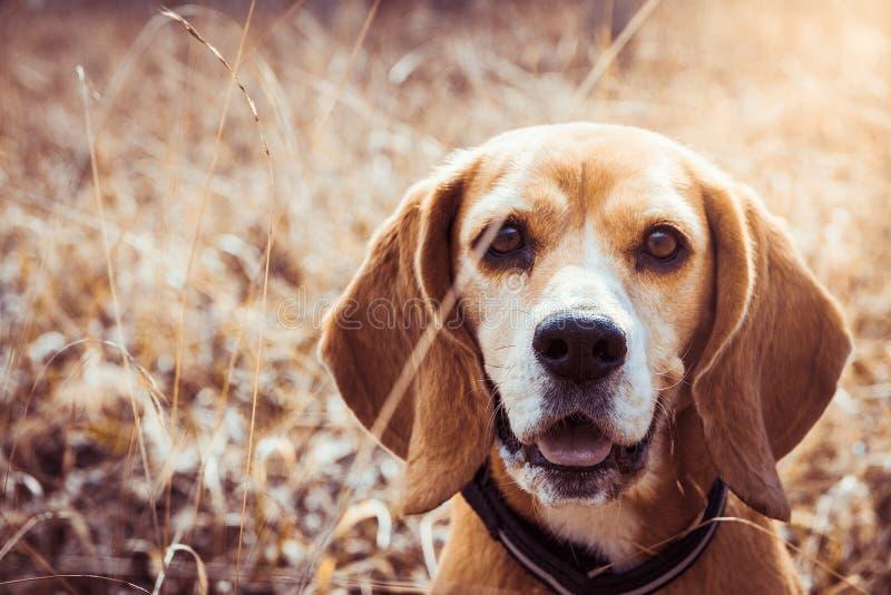 Stående av den rena avelbeaglehunden Beagleslut upp att le för framsida lycklig hund royaltyfri bild