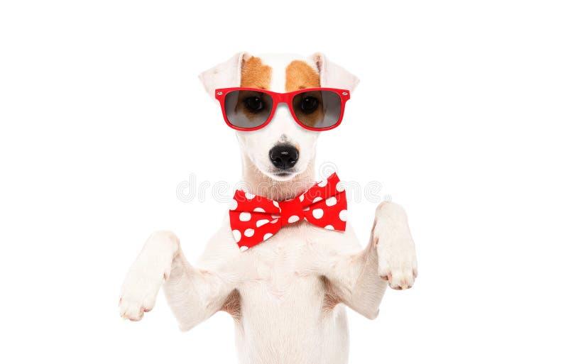 Stående av den roliga hunden Jack Russell Terrier i en fluga och solglasögon arkivbilder
