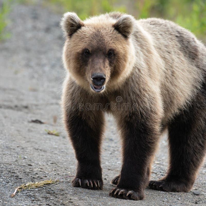 Stående av den ruskiga hungriga Kamchatka brunbjörnen som ser kameran fotografering för bildbyråer
