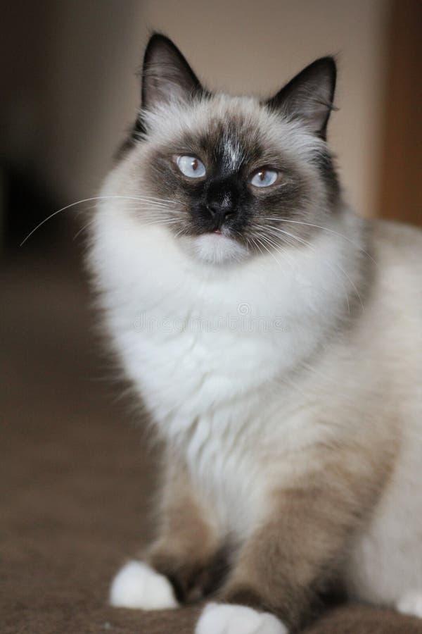 Stående av den siberian rasrena katten med blåa ögon arkivfoton