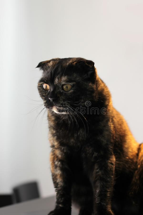 St?ende av den sk?ldpadds- katten f?r skotskt veck som sitter p? en tabell mot en vit v?gg royaltyfria foton