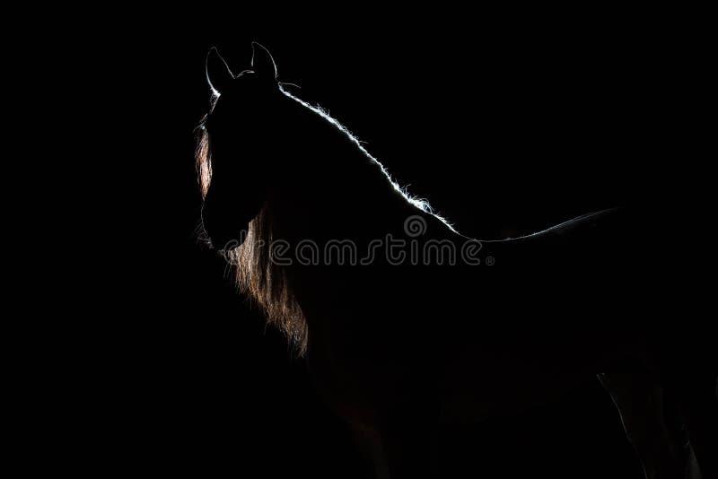 Stående av den spanska hingsten med den avfärdade mannen Konturljuskontur Belysning bakom Den svarta ibackgren arkivfoto