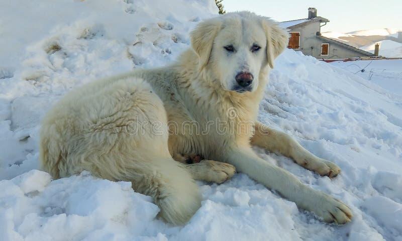 Stående av den stora maremmafårhunden som sitter i snön royaltyfri fotografi