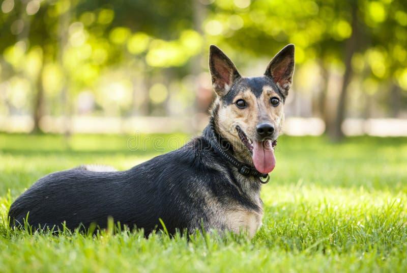 Stående av den svarta hunden för blandad avel som ligger på gräset arkivfoton