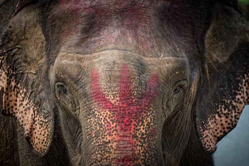Stående av den tämjde elefanten i Nepal royaltyfria bilder