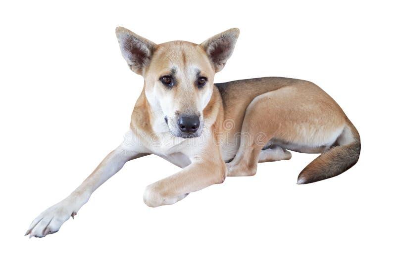 stående av den thai hunden royaltyfri foto