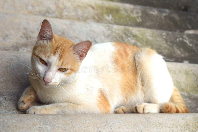 Stående av den thailändska katten arkivfoto