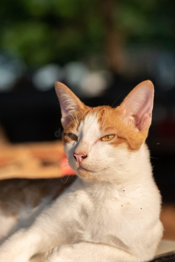 Stående av den thailändska katten för vit och orange katt fotografering för bildbyråer