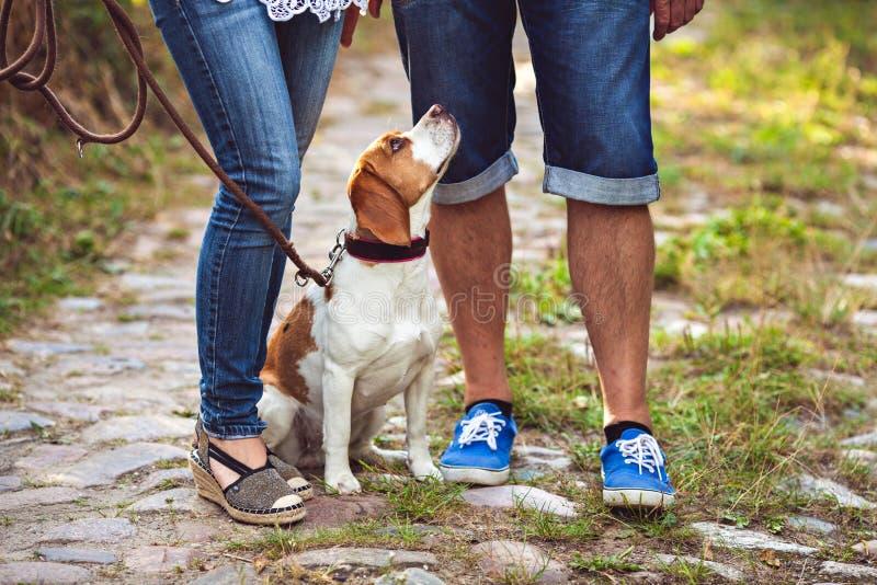 Stående av den unga beaglehunden arkivbilder