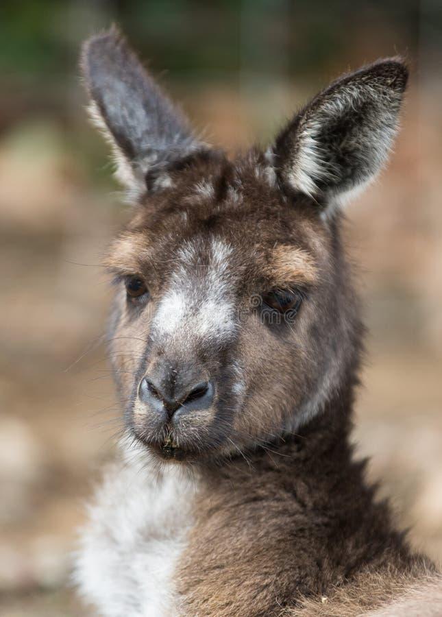 Stående av den unga gulliga australiska kängurun med stora ljusa bruna ögon som ser närbild på kameran royaltyfri foto