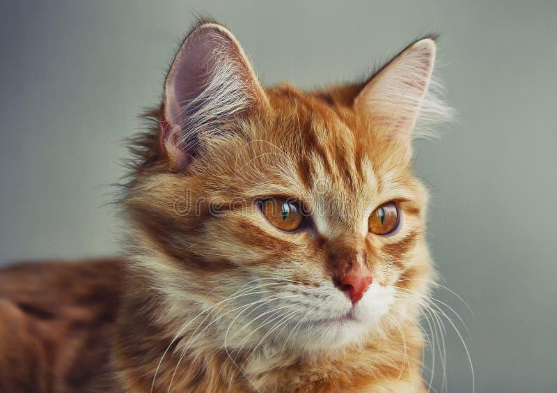 Stående av den unga röda kattcloseupen arkivfoto