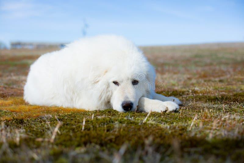 Stående av den ursnygga maremmafårhunden Närbild av den stora vita fluffiga hunden som ligger på mossa i fältet på en solig dag arkivbilder