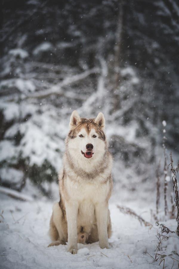 Stående av den ursnygga, prideful och fria Siberian skrovliga hunden som sitter på det insnöat den mystiska mörka skogen i vinter fotografering för bildbyråer