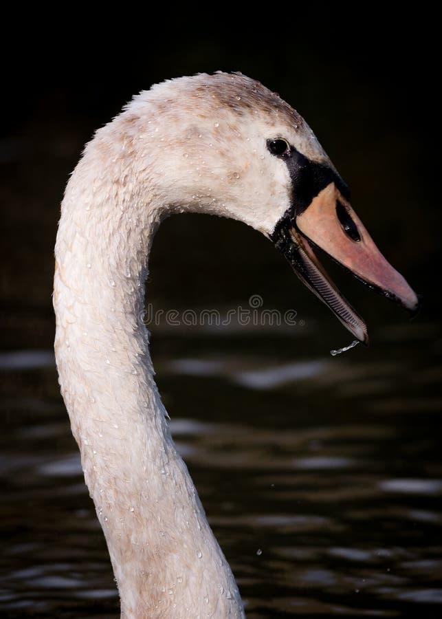 Stående av den våta stora unga svanen på mörkt vatten arkivbilder