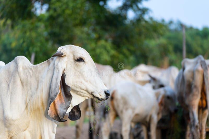 Stående av den vita asiatiska kon på bakgrund för koflock arkivfoto