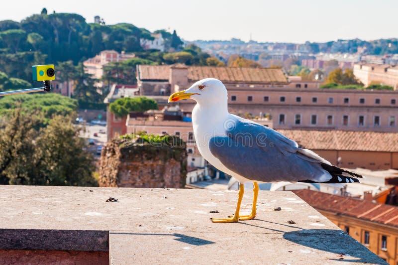 Stående av den vita seagullen som sitter på taket och poserar till kameran Larusen Argentatus eller den europeiska sillfiskmåsen, fotografering för bildbyråer