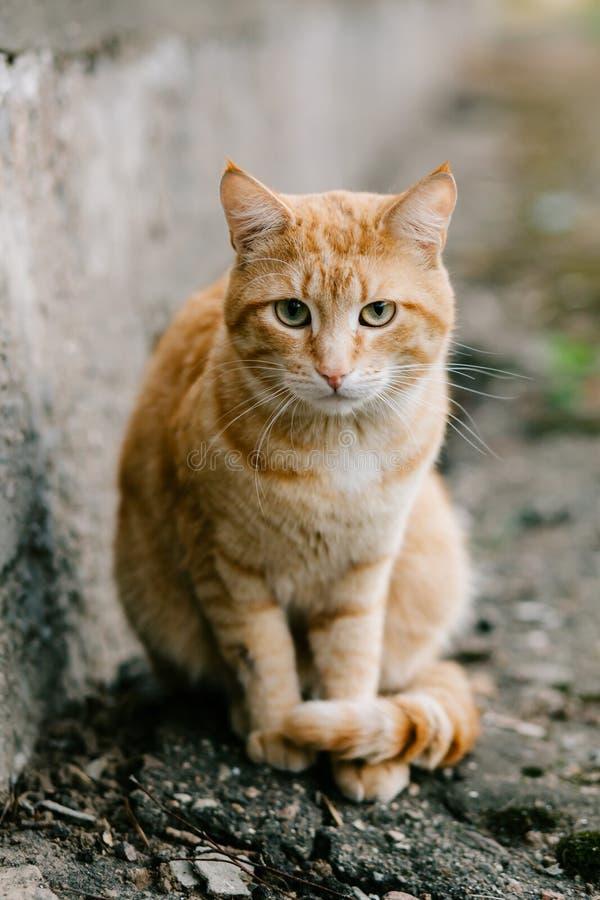 Stående av denhövdade katten som ser kameran fotografering för bildbyråer