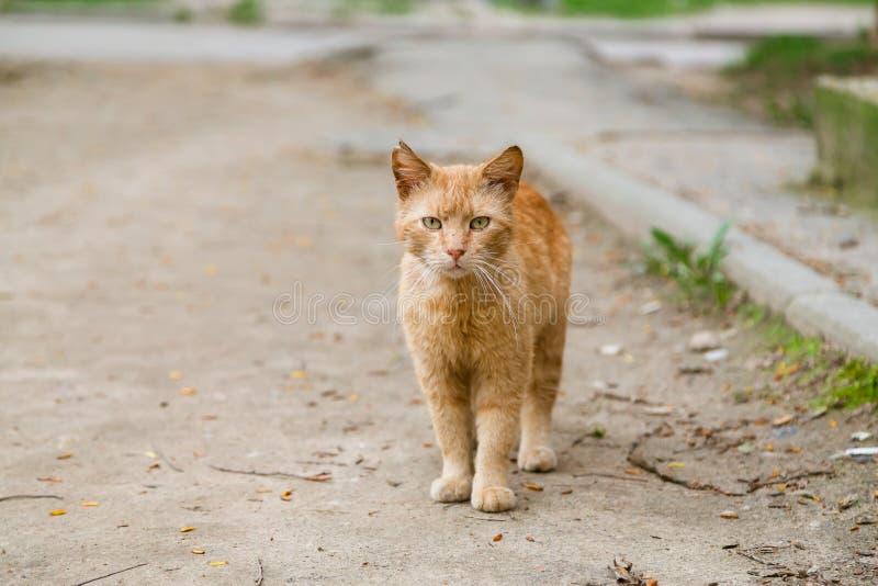 Stående av denhövdade katten som ser kameran royaltyfri foto