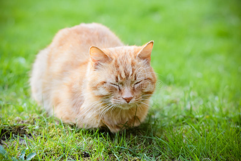 Stående av denhövdade sova katten royaltyfria bilder