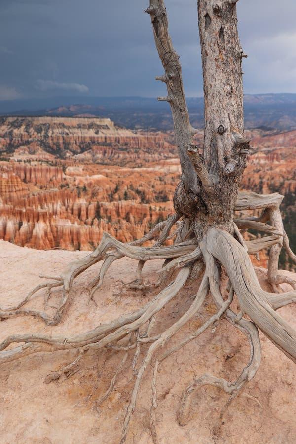 Stående av det döda trädet i Bryce Canyon National Park fotografering för bildbyråer