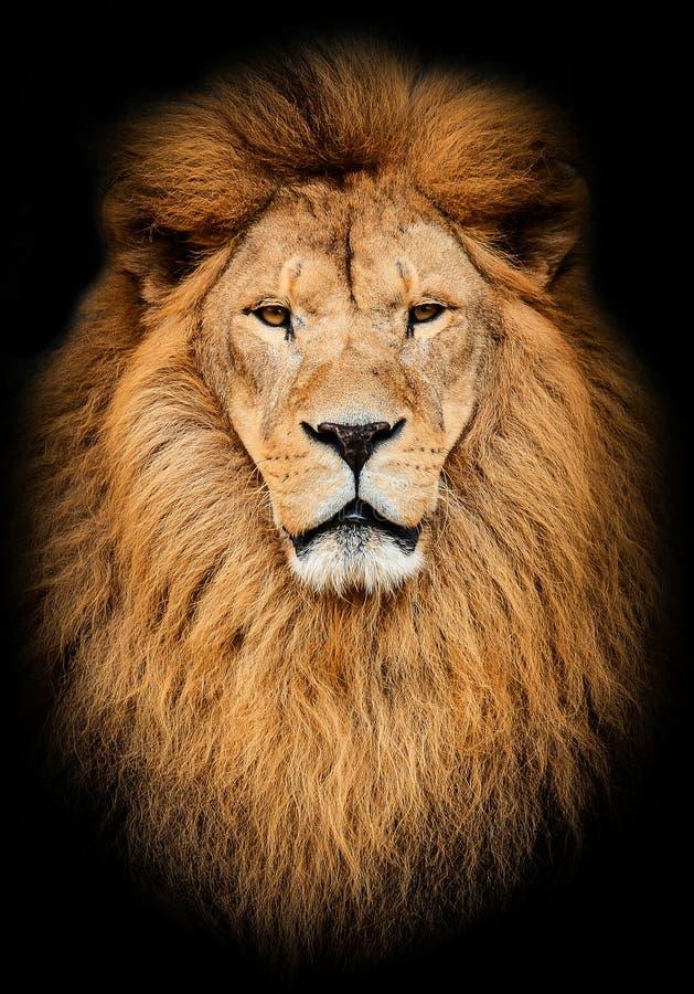 Stående av det enorma härliga manliga afrikanska lejonet mot svart bakgrund royaltyfria bilder