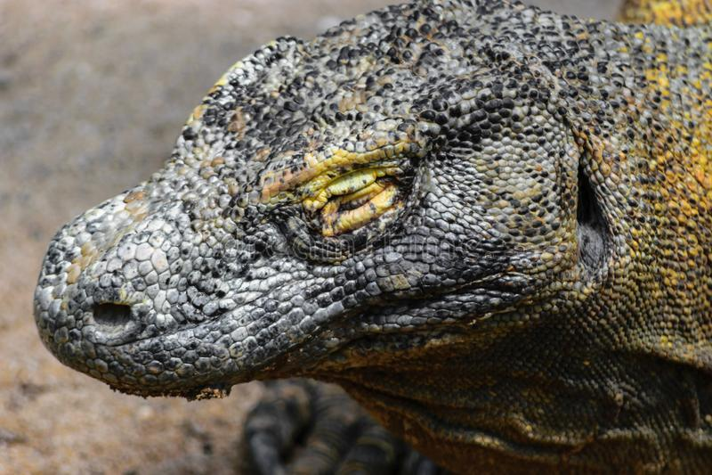 Stående av det enorma huvudet med det nära ögat av den Komodo draken i Bali, Indonesien fotografering för bildbyråer