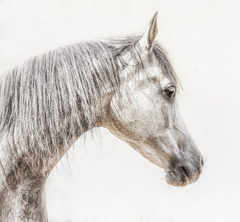 Stående av det gråa arabiska hästhuvudet på ljus bakgrund, profil arkivfoto