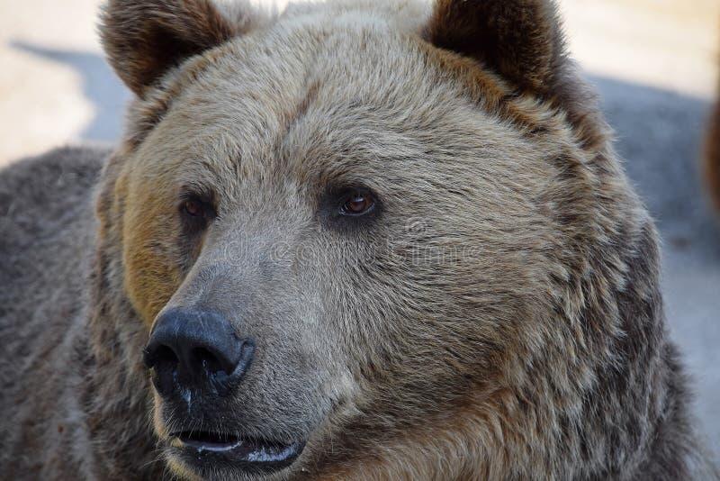 Stående av det manliga slutet för brunbjörn upp arkivfoton