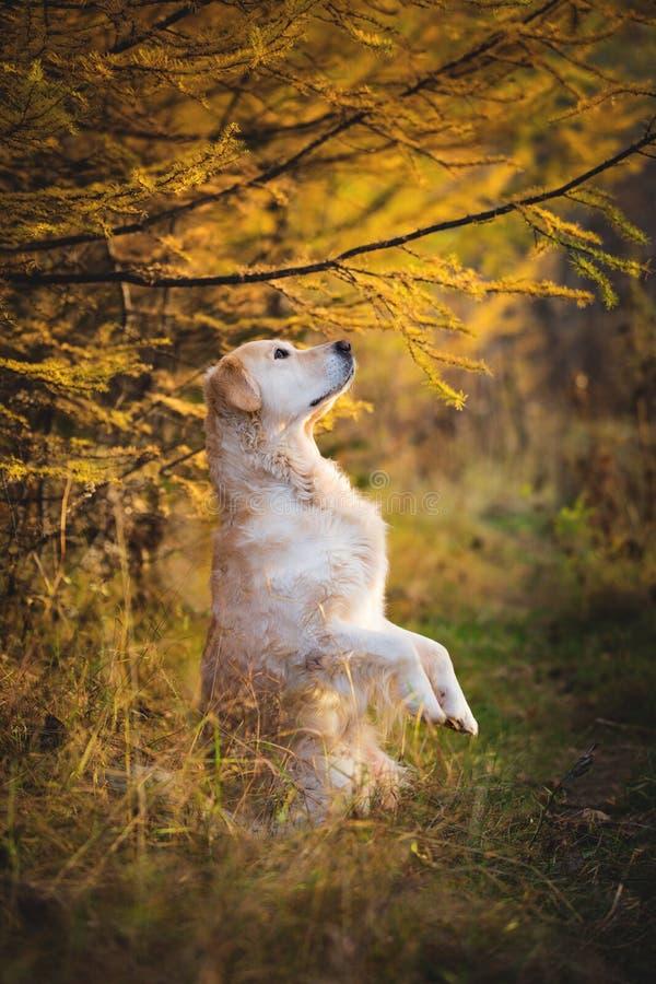 Stående av det roliga golden retrieverhundanseendet på bakre ben utomhus i höstskogen arkivbild