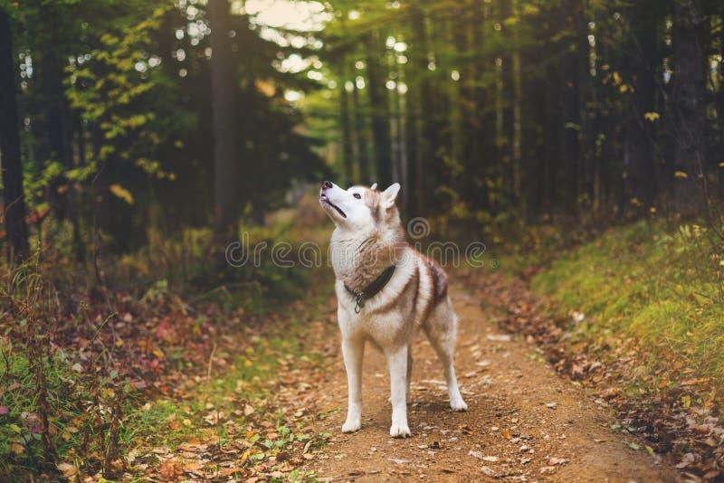 Stående av det Siberian skrovliga hundanseendet i den mystiska nedgångskogen royaltyfri fotografi