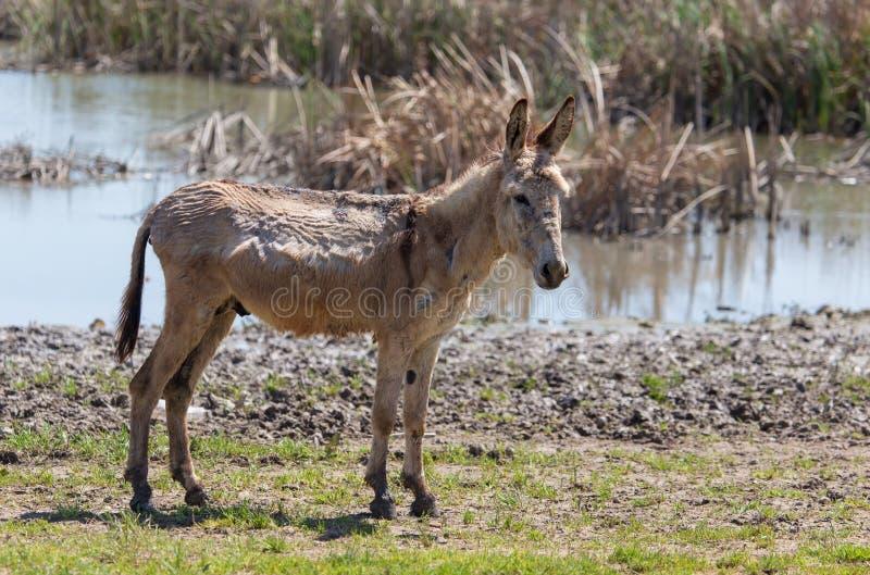 Stående av en åsna på naturen i vår royaltyfri foto