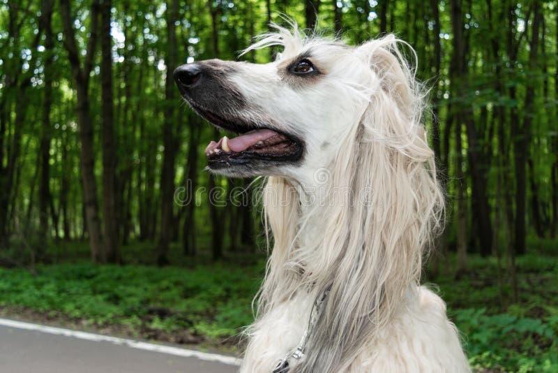 Stående av en afghansk hund i bakgrunden av skogen arkivfoton