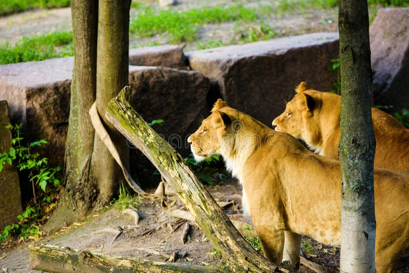 Stående av en afrikansk lejoninna & x28; Panthera leo royaltyfri bild