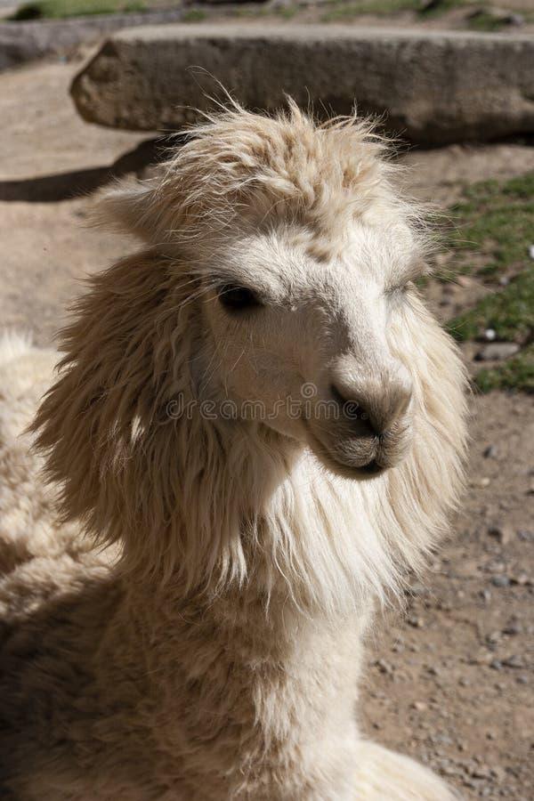 Stående av en andean vit lama arkivbilder
