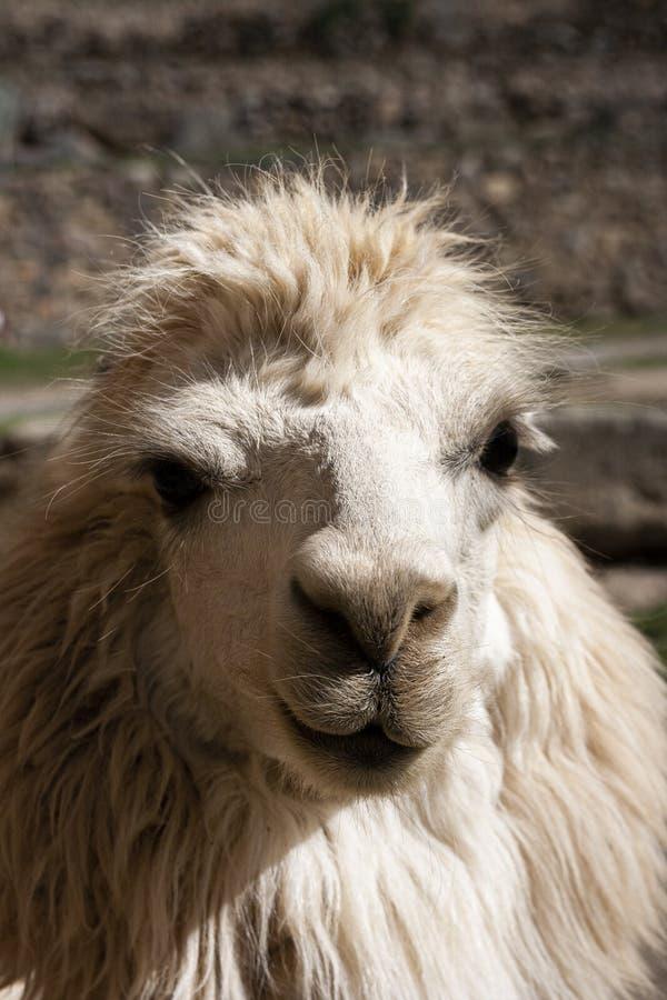 Stående av en andean vit lama royaltyfria foton