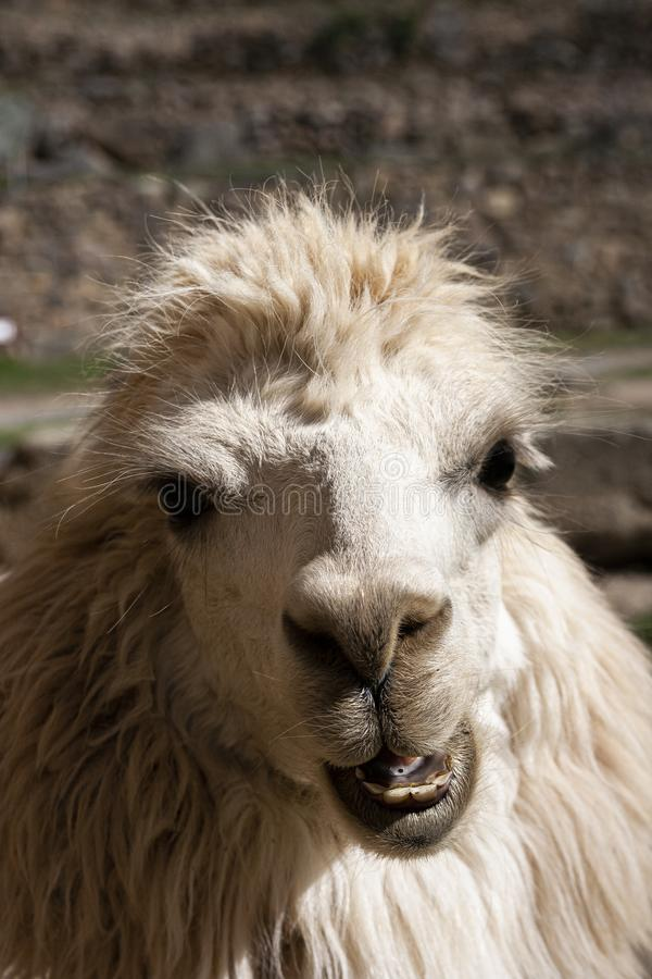 Stående av en andean vit lama royaltyfri fotografi