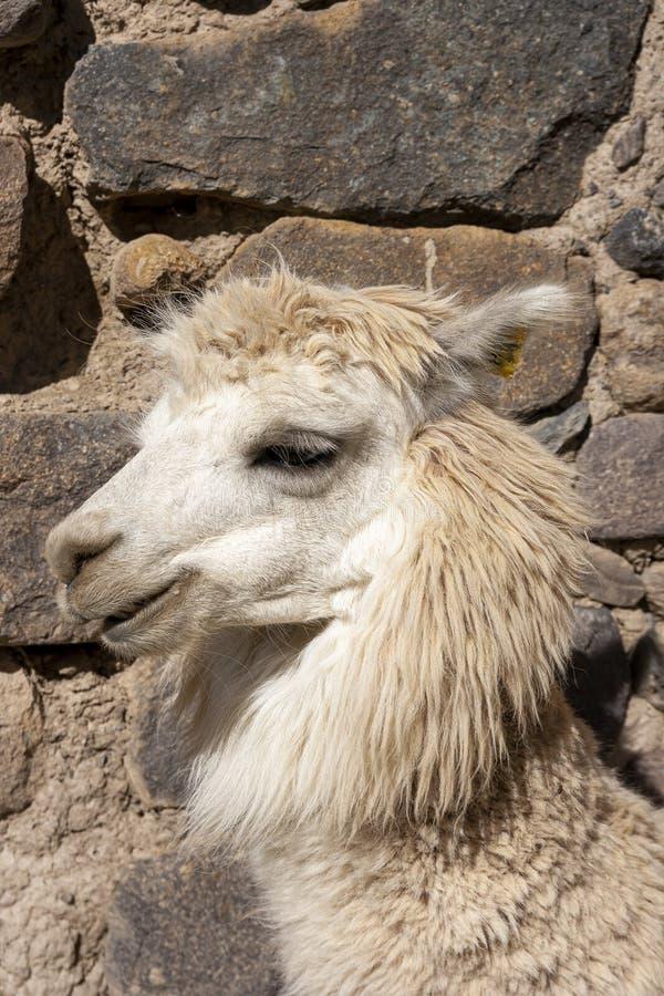 Stående av en andean vit lama arkivfoto