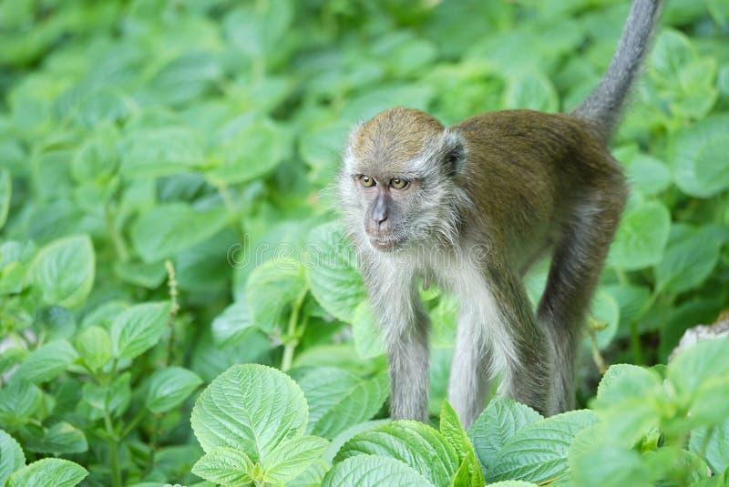 Stående av en apa arkivfoto