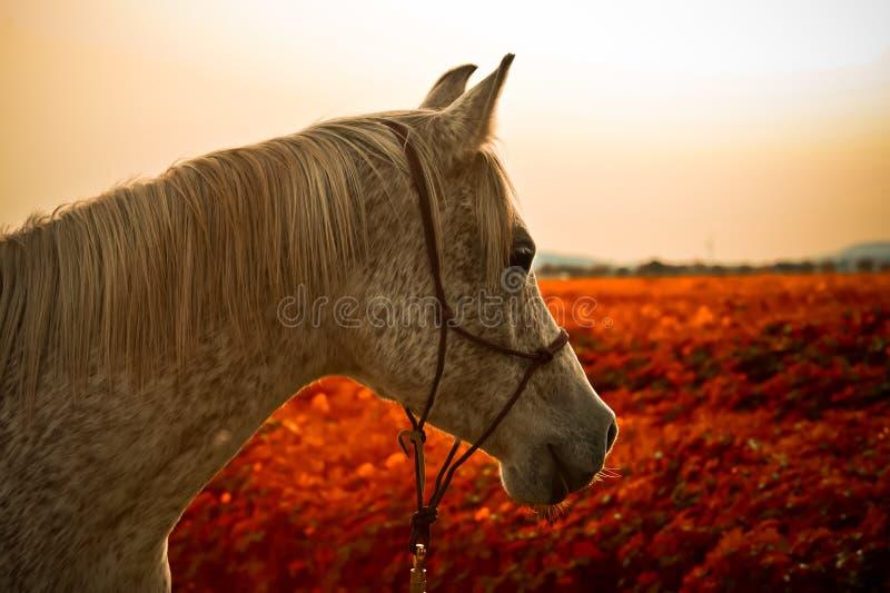 Stående av en arabisk häst arkivfoton