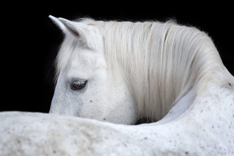 Stående av en arabisk häst på svart bakgrund royaltyfri bild
