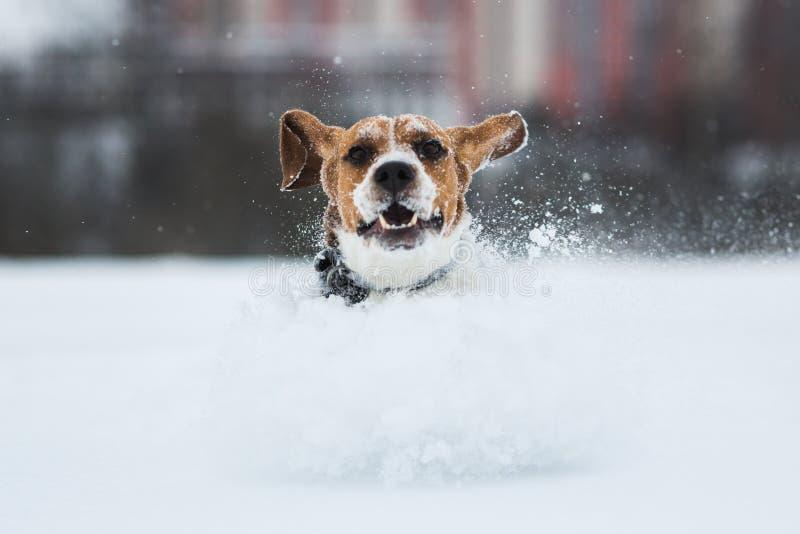 Stående av en beaglehund i vinter Snow faller royaltyfri fotografi