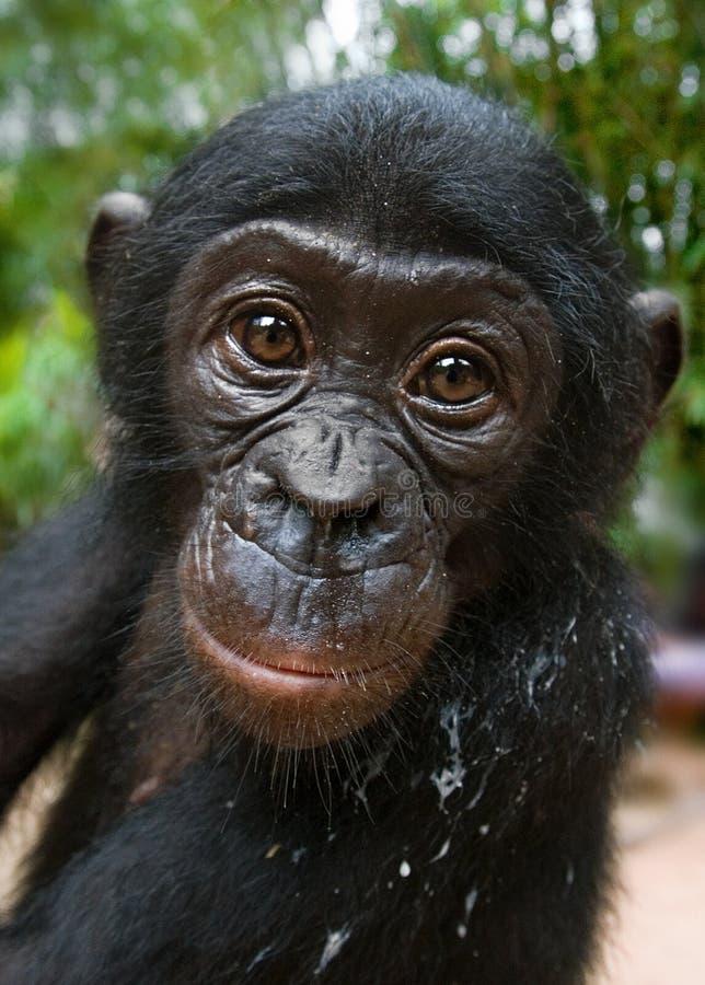 Stående av en behandla som ett barnbonobo congo demokratisk republik Lola Ya BONOBOnationalpark royaltyfria foton