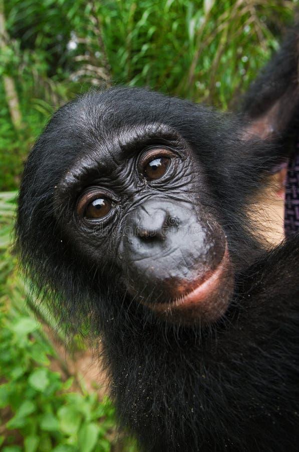 Stående av en behandla som ett barnbonobo congo demokratisk republik Lola Ya BONOBOnationalpark royaltyfria bilder