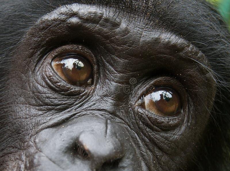 Stående av en behandla som ett barnbonobo congo demokratisk republik Lola Ya BONOBOnationalpark royaltyfri bild