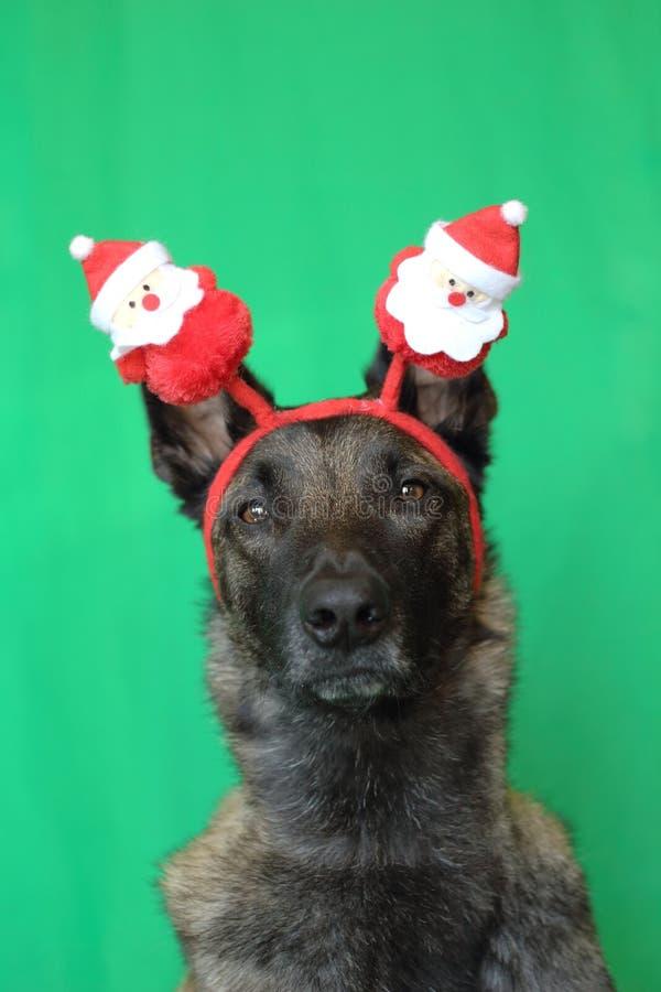 Stående av en belgisk herdehund för malinois med en rörande blick som bär en diadem för röd och vit jul på en grön bakgrund fotografering för bildbyråer